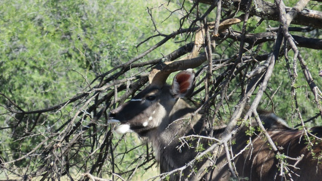 Kudu bull hiding at Mountain Zebra National Park with A & A Adventures
