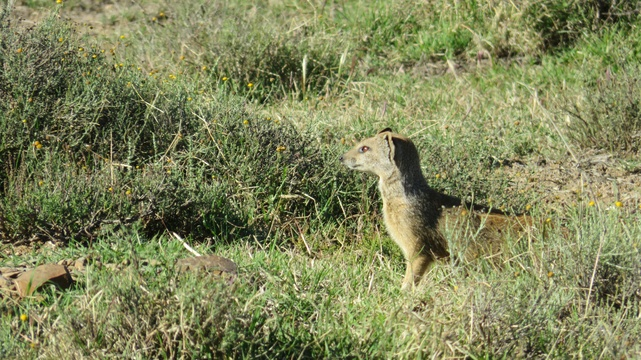 Mongoose at Mountain Zebra National Park with A & A Adventures