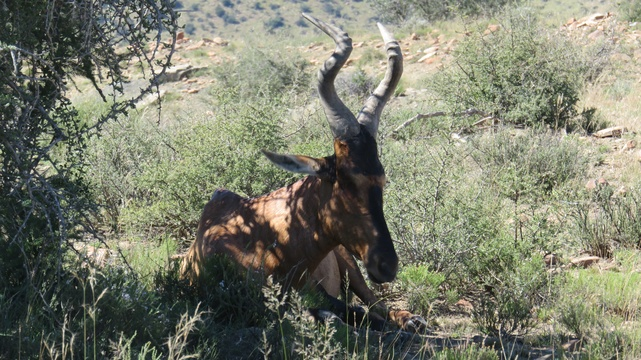 Red Hartebeest at Mountain Zebra National Park with A & A Adventures