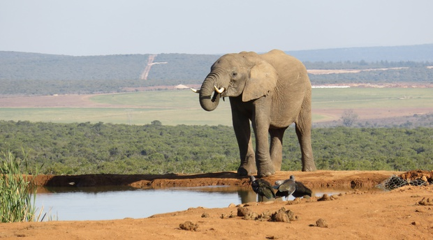 African Elephant on an A&A Adventure in South Africa