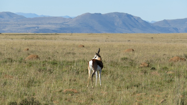Springbuck at Mountain Zebra National Park with A & A Adventures