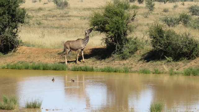 Kudu cow at Mountain Zebra National Park with A & A Adventures