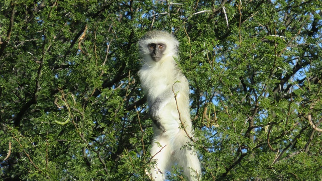 Vervet Monkey at the Mountain Zebra National Park with A & A Adventures