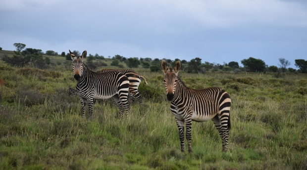 Mountain zebra at the Mountain Zebra National Park  in Cradock, South Africa with A&A Adventures