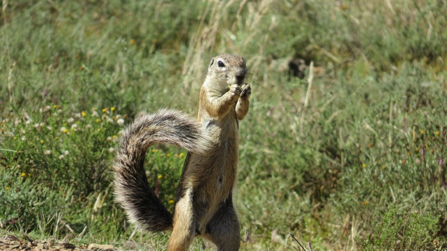 Ground Squirrel (Meerkat) at Mountain Zebra National Park with A & A Adventures