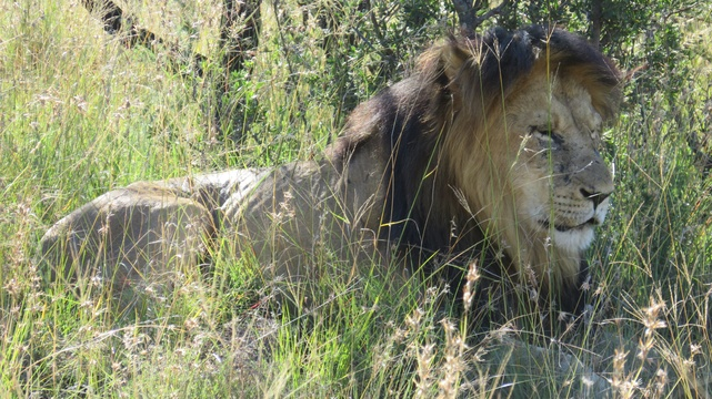 Male lion at Mountain Zebra National Park with A & A Adventures