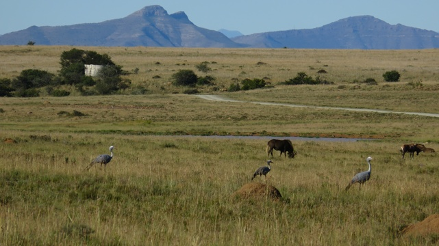 Blue Cranes at Mountain Zebra National Park with A & A Adventures