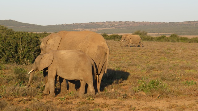 Beautiful Elephant Sightings, A&A Adventures in South Africa