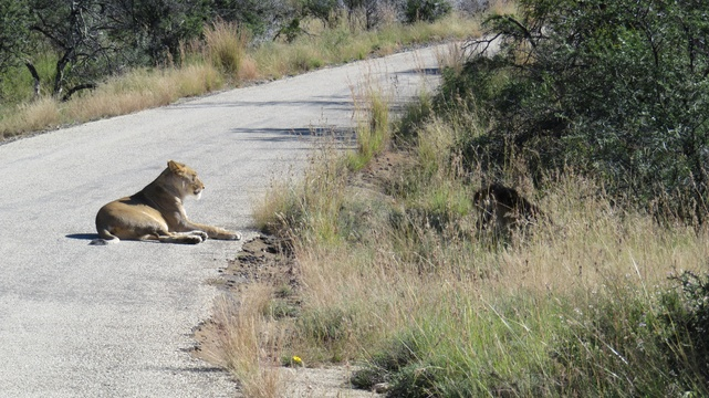 Female lion at Mountain Zebra National Park with A & A Adventures