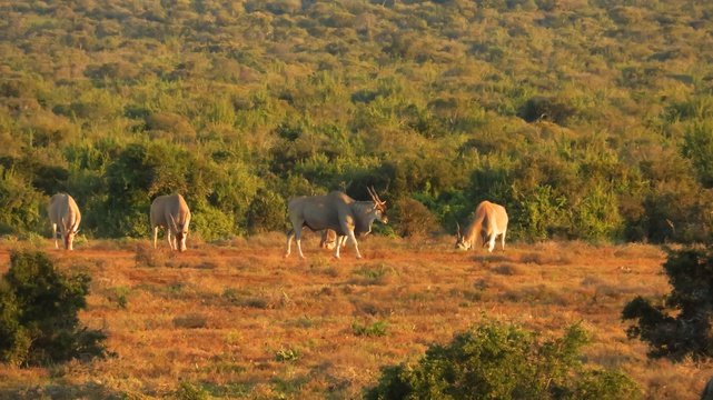Majestic Eland, A&A Adventures in South Africa