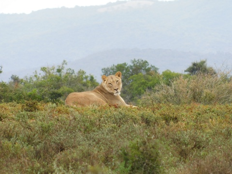 African Lion, posing for a picture on an A&A Adventure in South Africa's Eastern Cape Province