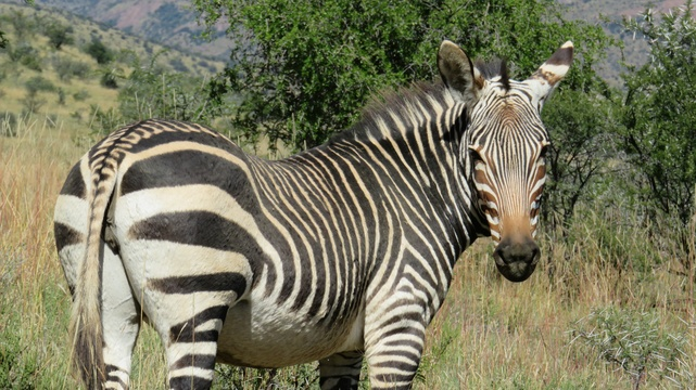 Cape Mountain Zebra at the Mountain Zebra National Park with A & A Adventures