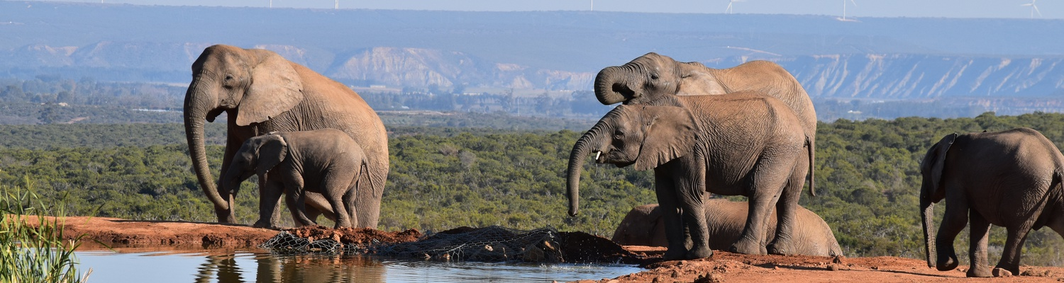 African Elephants at Addo Elephant National Park with A&A Adventures in South Africa