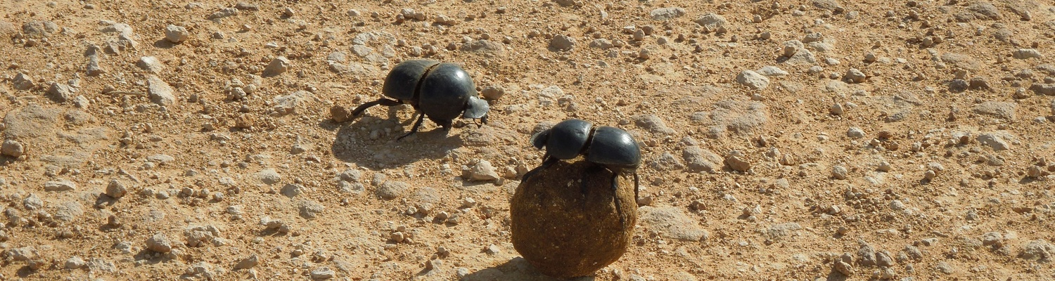 Flightless dung beetle in Addo Elephant National Park with A&A Adventures
